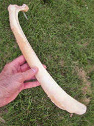Whole Uncut Sun-bleached Rib bones from Wyoming