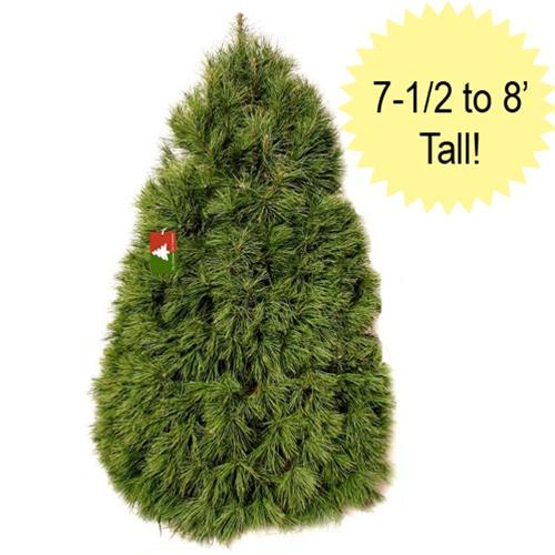 Fresh Cut White Pine Christmas Tree Wp0078 Free Shipping
