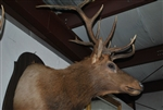Mounted 12 Point Elk Head
