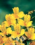 Senna (Yellow) - Alstroemeria - 120 stems