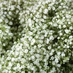 Babys Breath Filler - 8 Bunches (Million Star variety)