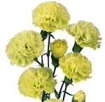 Green - Mini Carnations - 160 stems