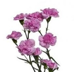 Lavender - Mini Carnations - 160 stems
