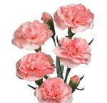 Pink - Mini Carnations - 175 stems