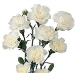 White - Mini Carnations - 160 stems