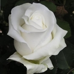 "Akito White Rose 20"" Long - 100 Stems"