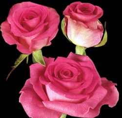 "Attache Medium Pink Rose 20"" Long - 100 Stems"