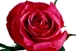 "Cherry O Pink Rose 20"" Long - 100 Stems"