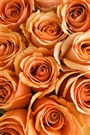 "Cinnamon Peach Rose 20"" Long - 100 Stems"