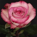 "Classic Cezanne Bi-Color Rose 20"" Long - 100 Stems"