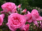 "Eliza Hot Pink Rose 20"" Long - 100 Stems"