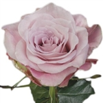 "Faith Lavender Rose 20"" Long - 100 Stems"