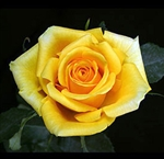 "Gold Strike Yellow Rose 20"" Long - 100 Stems"