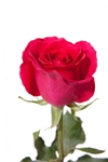 "Hot Lady Hot Pink Rose 20"" Long - 100 Stems"