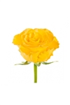 "Kerio Yellow Rose 20"" Long - 100 Stems"