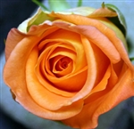"Miracle Orange Rose 20"" Long - 100 Stems (Very Popular)"