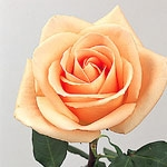 "Osiana Peach Rose 20"" Long - 100 Stems"