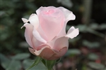 "Sweet Akito Light Pink Rose 20"" Long - 100 Stems"