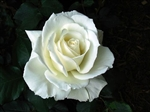 "Tineke White Rose 20"" Long - 100 Stems"