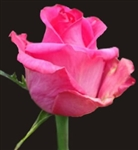 "Topaz Hot Pink Rose 20"" Long - 100 Stems"