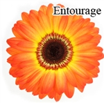 Entourage Gerbera Daisies - 72 Stems (VERY POPULAR)