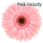 Grizzly Pink Gerbera Daisies - 72 Stems