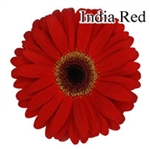 India Red Gerbera Daisies - 72 Stems