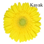 Kayak Yellow Gerbera Daisies - 72 Stems
