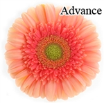 Advance Gerbera Daisies - 72 Stems