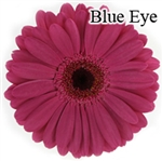 Blue Eye Gerbera Daisies - 72 Stems