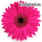 Temptation Pink Gerbera Daisies - 72 Stems (VERY POPULAR)