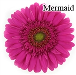 Mermaid Gerbera Daisies - 72 Stems