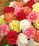 Assorted - Standard Carnations - 175 stems