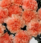 Peach - Standard Carnations - 175 stems