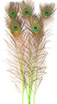 "Dyed Lime Green Peacock Feathers 35""-40"" (Pack of 100)"