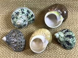 Small Hermit Crab Turbo Shell Pack