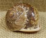 Natural Mountain Snail Shell
