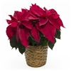POINSETTIA - RED