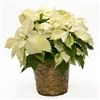 POINSETTIA - WHITE