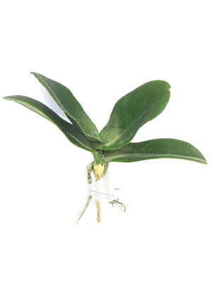 Real Touch Lau's Flowers Artificial Flower Phalaenopsis Leaf Spray