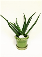 15 Inch Aloe Arrangement with Ceramic Pot