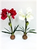 "Amaryllis Couple 24""H"