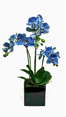 Blue Phalaenopsis Flower