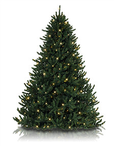 Alexander Fir <span>|15' | Slim 74"