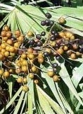 Saw Palmetto Berry Essential Oil - 15ml
