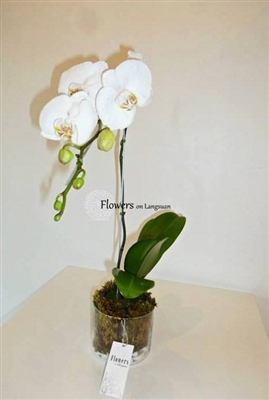 OC7-Single White Orchid Plant