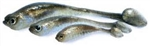 "Density Tackle 4.6"" SwimTail Panic Minnow"