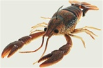 River2sea Dahlberg Clackin' Crayfish 130