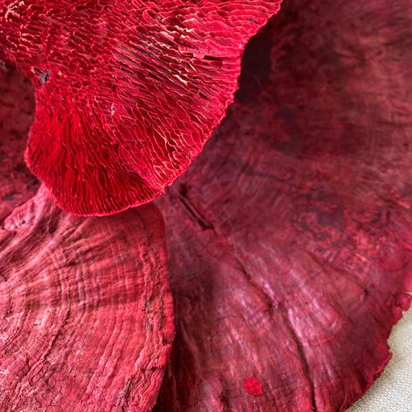 Sponge Mushroom Red Stem, Dried Pod