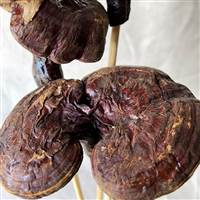 Brazilian Mushroom Natural Stem, Dried Pod